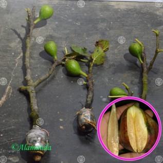 Jual buah ara tin black mission ( cangkok )
