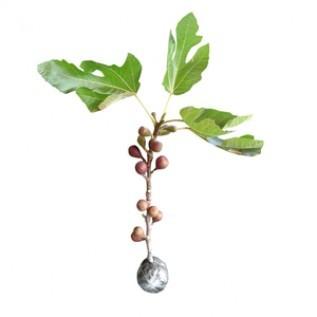 Jual bibit buah ara / tin negrone 40cm siap berbuah