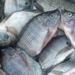 Jual open order ikan mas konsumsi 1kg (3/4)