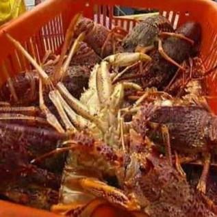 Jual lobster pasir