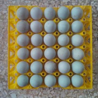 Jual Telur Bebek Segar Super Red Berkualitas