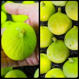Jual bibit tanaman buah ara / tin calimyrna - ukuran 30 - 40cm