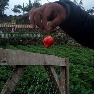 Jual strawbeery lungsung dari kebun-Harga kebun