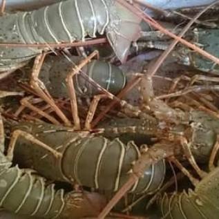 Jual lobster bambu