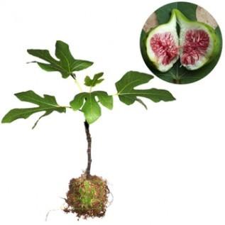 Jual bibit tanaman buah ara tin green yordan - ukuran 20 - 40cm