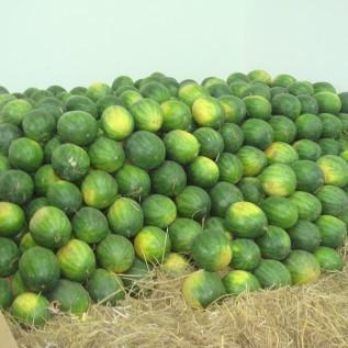 Jual ekspor semangka ke timur tengah