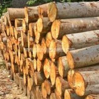 Jual kayu sengon