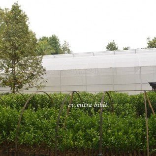 Jual pusat pembibitan jeruk keprok batu 55 bersertifikat & berlabel biru untuk tender dan lelang