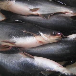 Jual open order ikan patin konsumsi 1kg (3/4)