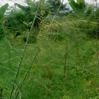Jual benih/biji asparagus hijau (taiwan)