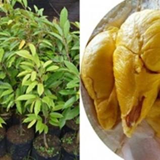 Jual bibit durian musang king | bibit durian raja buah