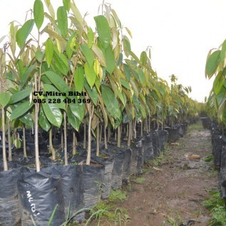 Jual bibit durian duri hitam super | bibit durian black thorn mapan