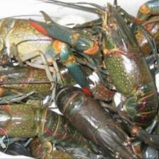 jual lobster air tawar