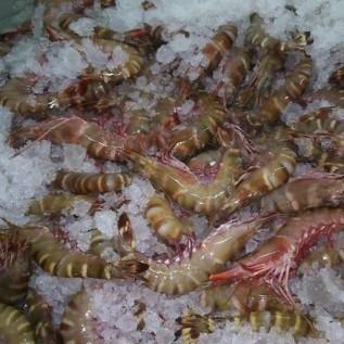 Jual udang tiger fres frozen