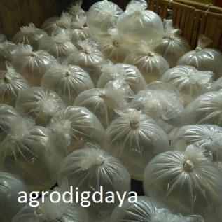 jual larva / benih  ikan bawal jumlah besar siap kirim