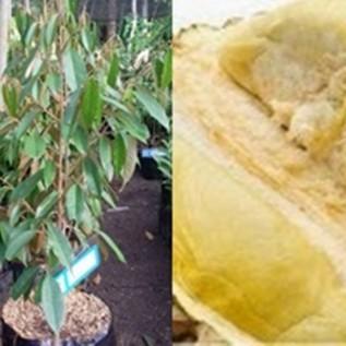Jual bibit durian si mimang super harga bersahabat