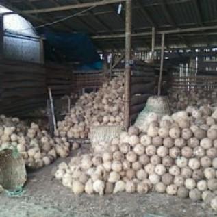 Jual kelapa tua