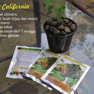 Jual benih unggul: pepaya calina/california