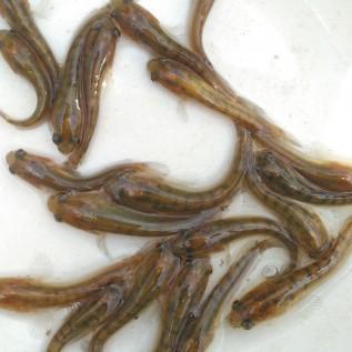 Jual benih ikan gabus